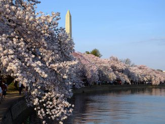 Cherry Blossoms at Tidal Bassin with the Washington Monument   Photo Ludo Segers