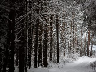 Lithuanian forest in the winter