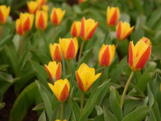 Tulips in the Kaunas Botanic Guardian